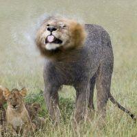 Afrique, Kenya, Réserve nationale du Masai-Mara, Lion (panthera leo), un des mâles et les lionceaux sous la pluie