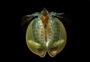 Lynceus brachyurus - Jean-François Cart / Naturagency