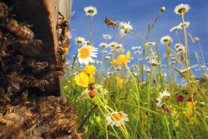 France - Une colonie compte à la belle saison 60 000 à 80 000 abeilles. La population se compose d'une reine fécondée qui pond près de 2000 œufs par jour, de quelques centaines de mâles, appelés faux-bourdons, et d'ouvrières. Les ouvrières occupent successivement selon leur âge et leur développement physiologique, les fonctions de nettoyeuses, nourrices, travailleuses à l'intérieur de la ruche, productrices de cire, gardiennes et enfin butineuses, à partir de leur vingtième jour et jusqu'à mourir d'épuisement. Lors de l'essaimage (moment où la moitié des abeilles d'une colonie part à la recherche d'un habitat avec une reine pour fonder une nouvelle colonie), ce sont les abeilles les plus expérimentées qui participent au choix du nouvel habitat.- -