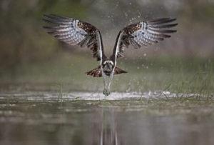 Balbuzard pêcheur (Pandion haliaetus) - Basses Vallées Angevines - Louis Marie PREAU