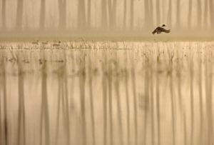 Canard pilet (Anas acuta) - Basses Vallées Angevines - Louis Marie PREAU