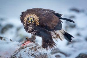 Voyage photo Aigles et Pélicans en hiver, Bulgarie et Grèce. - © Patrick Dieudonné Photo