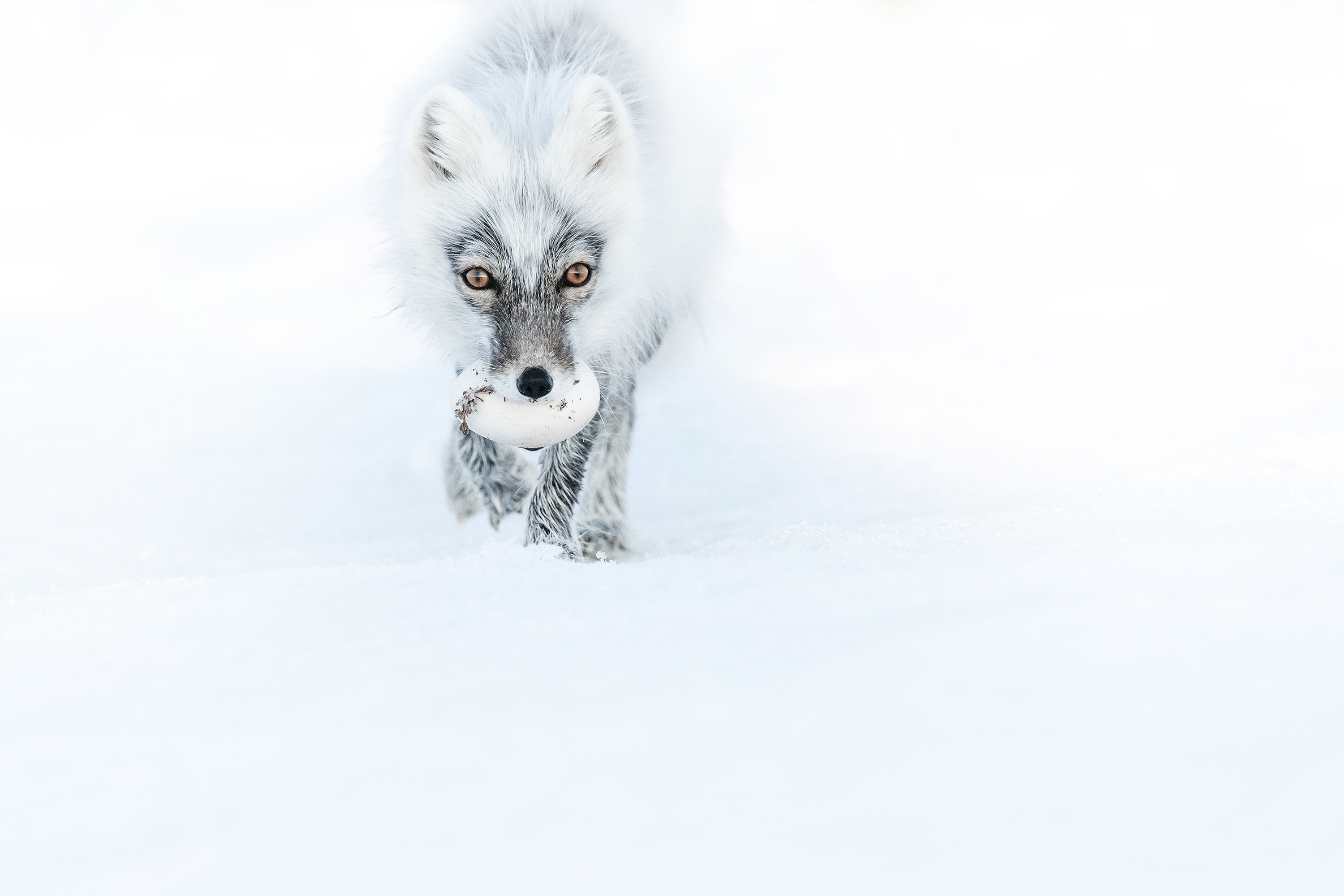 Arctic fox with an egg. - Arctic foxes are stealing from nests snow goose eggs.