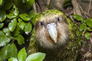Kakapo, Nouvelle-Zélande - Sabine Bernert
