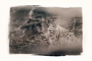 Lynx, Jura, 2014 - Vincent Munier