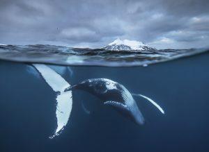 Farewell dance of the humpback whale - Fritz Pölking Prize 2016, Audun Rikardsen
