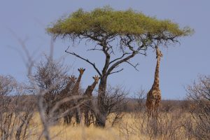 girafe - Christian Kempf