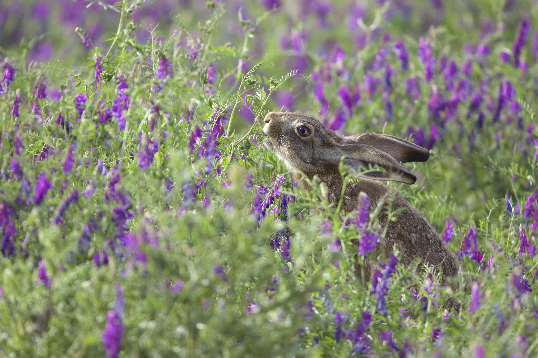 Lièvre dans un champ de vesces barbues - Ph.et A. Chenet