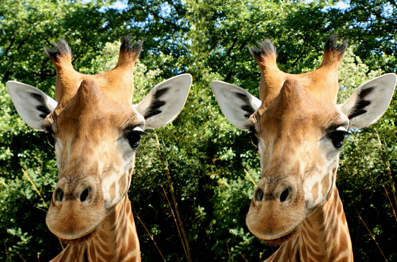 Girafe - Henriette Magna-Clerc