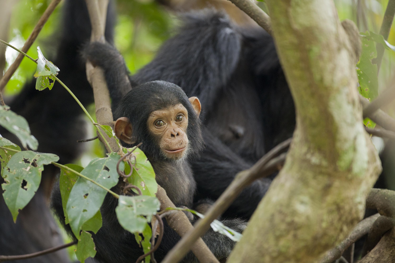 Chimpanzé : notre nouveau pharmacien - Sabine Bernert