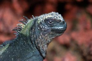 Iguane marin, Galapagos - ©Bruno Pambour