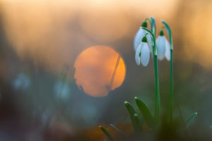 Perce-neige au soleil couchant - VOL Fabian