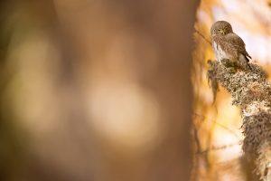 Chevêchette d'Europe - © David Allemand