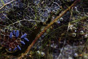 Podura aquatica - Jonathan Lhoir