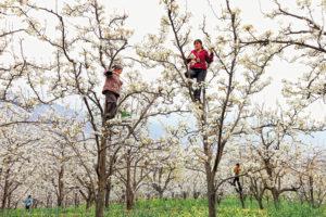 CHINE – Province du Sichuan, Hanyuan Pollinisation des vergers de poiriers à la main. La Chine a réalisé sa révolution agricole dans les années quatre-vingt suite à la politique nataliste du Président Mao Zedong. À Hanyuan, les poiriers sont traités de façon anarchique aux insecticides par les familles de paysans pour lutter contre le pou de la poire. Depuis 20 ans, les familles d'apiculteurs évitent la vallée avec leurs ruches pendant la floraison des vergers et le travail des abeilles a été remplacé par la pollinisation manuelle, rémunérée trois euros la journée. -
