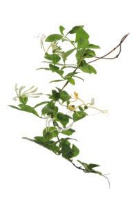 Liane de chèvrefeuille des bois (Lonicera periclymenum) en fleur. - Stéphane Hette & Frédéric Hendoux | Les arbres amoureux