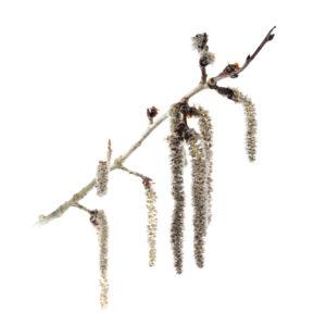 Chatons velus du peuplier tremble (Populus tremula). - Stéphane Hette & Frédéric Hendoux | Les arbres amoureux