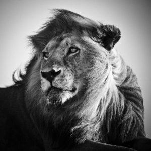 La crinière ne fait pas le lion - Laurent Baheux