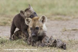 Hyènes, Kenya - C & M Denis-Huot