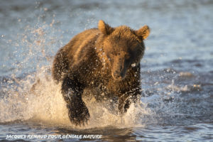 Ours brun, Kamtchatka - Jacques Renaud