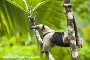 Tamandua mexicain, Costa Rica - Sabine Bernert
