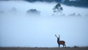Cerf dans la brume - Amar et Isabelle Guillen