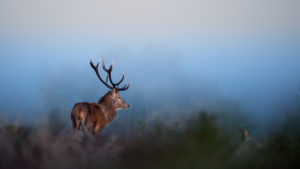 Cerf dans une prairie - Amar et Isabelle Guillen