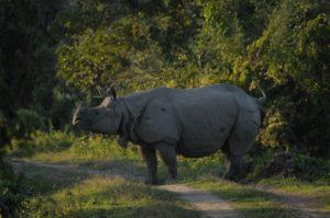 Rhinocéros indien - Kaziranga NP / Inde - Julien Gonin