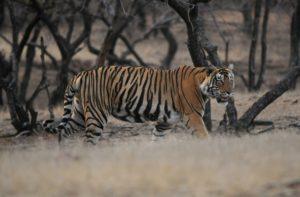 Tigre du Bengale - Ranthambore NP / Inde - Julien Gonin