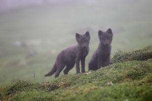 Jeunes renards polaires - Philippe Garcia