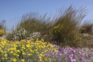 Les dunes de la RNN de Camargue - Silke Befeld. SNPN - RNN de Camargue