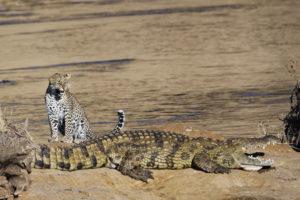 Léopard et crocodile - Collectif