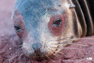 Otarie des Galapagos, Galapagos Sea Lion, Equateur - bruno pambour