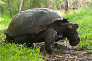 Tortue géante, Giant Tortoise Galapagos, Equateur - bruno pambour