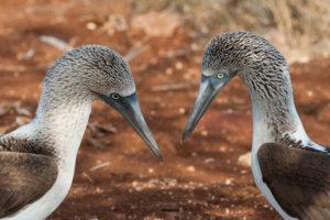 Fous à pieds bleus, Blue-footed Boobies, Galapagos, Equateur - bruno pambour