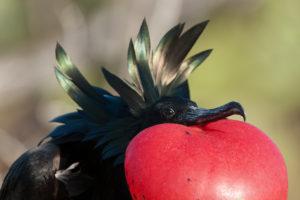 Frégate du Pacifique, Great Frigatebird, Galapagos, Equateur - bruno pambour