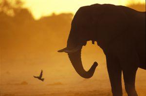 éléphant du Botswana - Michel Bureau