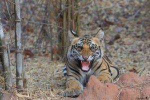 tigre du bengale - Claudy Guiot