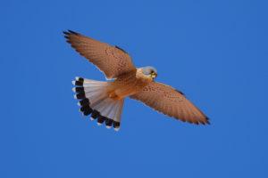 Faucon crécerelle - Turismo Extremadura