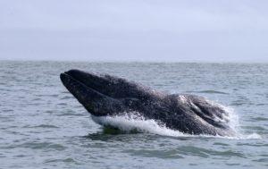 L'observation des baleines encourage les populations locales à protéger les cétacés et leurs habitats, soutient les économies en développement et crée des emplois au niveau local. - IFAW