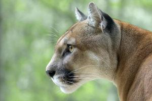 Puma - Escursia - Istock