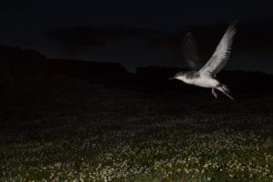 Envol d'un Puffin des Anglais au-dessus de la colonie de nidification la plus dense au monde - Bart Vercruysse & Pol Dewulf