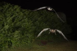 Trois heures du matin. Les Puffins des Anglais quittent l'île avant l'arrivée de la première lumière du matin - Bart Vercruysse & Pol Dewulf