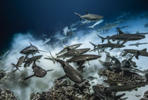 requins sur le fond - laurent ballesta