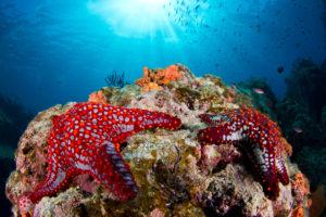 Etoiles de mer à cornes rouges - Patrick Désormais
