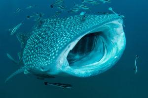 Requin baleine - Patrick Désormais
