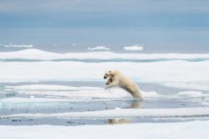 Le saut de l'ours polaire - Florian Ledoux