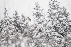 Gypaète neige - Georges Reychler