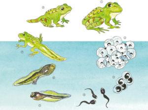 Le cycle des grenouilles - E.Pops