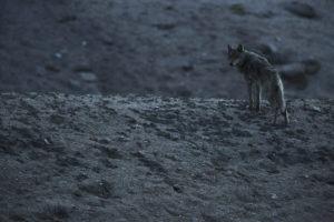 Tibetan wolf - Lionel PRADO